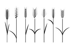 Wheat field. Cereals icon set with rice, wheat, corn, oats, rye, barley. Ears of wheat bread symbols. Organic , agriculture seed, plant and food, natural eat Royalty Free Stock Images