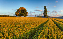 Wheat field with chapel in Slovakia Stock Image