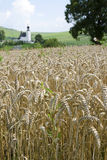 The wheat field Stock Photos