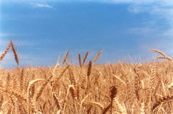 Wheat field classic. Classic view of golden wheat field with bright blue sky stock photography