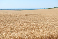 Wheat field and clear sky, beautiful summer landscape Stock Photo