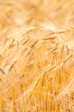 Wheat field close-up Royalty Free Stock Image