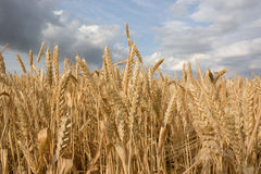 Wheat field close-up. Wheat ears on field very close, cloudy sky Royalty Free Stock Images