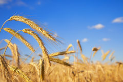 Wheat field close up Royalty Free Stock Photography