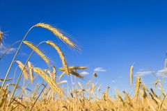 Wheat field close up Stock Photo
