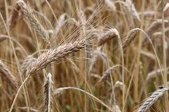 Wheat field close-up Royalty Free Stock Photo