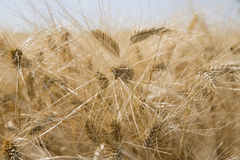 Wheat in field close-up Stock Images
