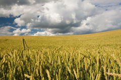 Wheat field close-up. With dramatic sky in background Stock Photos