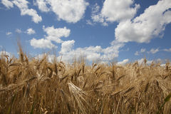 Wheat field close up against blue sky Royalty Free Stock Photo
