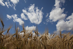 Wheat field close up against blue sky Stock Photo