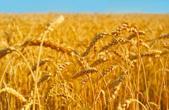 Wheat field close up Royalty Free Stock Image