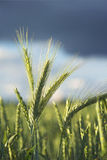 Wheat in field Stock Photography