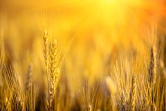 Wheat Field. Close Up Ears Of Gold Wheat On Sunset. Soft Focus. Harvest Concept Royalty Free Stock Photography