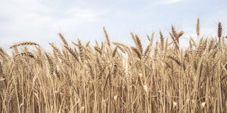 Wheat field in close-up Royalty Free Stock Photography