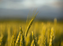 Wheat in field Stock Photos