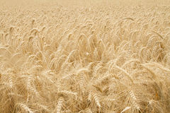 Wheat Field. Close up of a large field of wheat Stock Photo