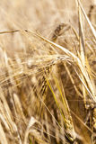 Wheat field, close-up Stock Photos