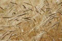 Wheat Field in Close Up Photography Royalty Free Stock Photos