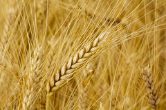 Wheat Field. Close-up of ripe wheat with wheat field in the background Stock Images