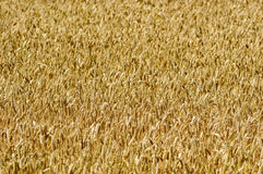 Wheat field. Close up of ripe wheat field in the summer. This wheat is soon ready to be harvested. Wheat is a very important and useful plant in the grass family Royalty Free Stock Photo
