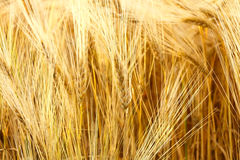Wheat field. Close-up of ripe yellow wheat field background. Bright summer day Stock Photography