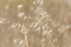 Wheat field close up on a summer field nature scene Stock Photos