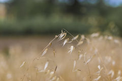 Wheat field close up on a summer field nature scene Royalty Free Stock Photo