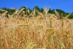 Wheat field close up Stock Photo