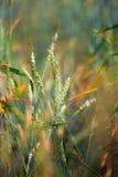 Wheat field closeup Stock Image