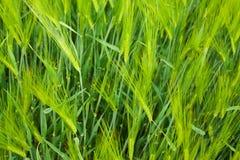 Wheat field closeup Royalty Free Stock Photo