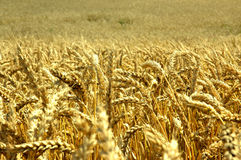 Wheat field closeup. Stock Images