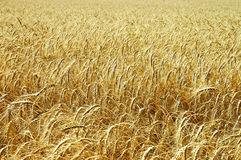 Wheat field closeup Stock Images