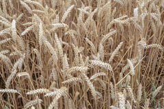 Wheat field closeup Royalty Free Stock Image