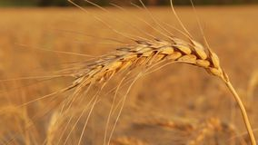 Wheat field closeup stock footage
