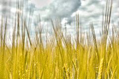 Wheat Field. Closeup of a wheat field growing in summertime Stock Images