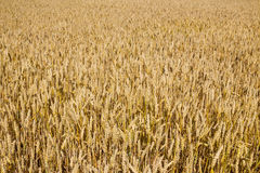 Wheat field closeup Royalty Free Stock Photos