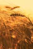 Wheat field closeup in the sunset Royalty Free Stock Photography