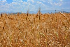 Wheat field and cloudly sky Royalty Free Stock Photo