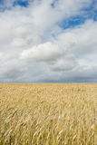 Wheat field with clouds above Stock Photo