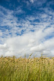 Wheat field with clouds above Royalty Free Stock Photo