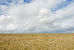 Wheat field with clouds above Stock Images