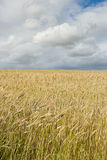 Wheat field with clouds above Stock Photos