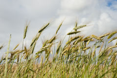 Wheat field with clouds overhead Royalty Free Stock Photo