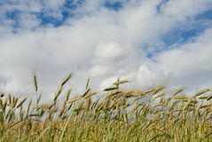 Wheat field with clouds overhead Royalty Free Stock Photography