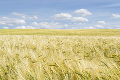 Wheat field and clouds Royalty Free Stock Photo