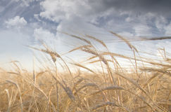 Wheat. Field and Clouds Sky Stock Images