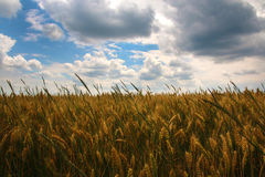 Wheat field and clouds in the sky. Wheat field in the wind and nice clouds in the sky Stock Photos