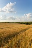 Wheat field and clouds. Summer landscape with wheat field and clouds Stock Photography