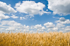 Wheat field and cloudy blue sky Stock Image