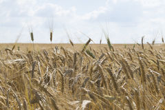 Wheat field cloudy blue sky background Royalty Free Stock Images